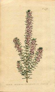 1800年 Curtis Botanical Magazine No.471 ツツジ科 エリカ属 ERICA MEDITERRANEA
