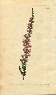 1800年 Curtis Botanical Magazine No.480 ツツジ科 エリカ属 ERICA PUBESCENS