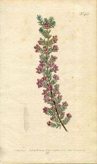 1800年 Curtis Botanical Magazine No.481 ツツジ科 エリカ属 ERICA HIRTIFLORA