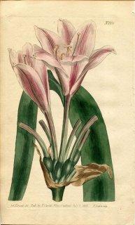 1803年 Curtis Botanical Magazine No.661 ヒガンバナ科 キビステテス属 AMARYLLIS LONGIFOLIA