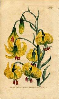 1804年 Curtis Botanical Magazine No.798 ユリ科 ユリ属 LILIUM POMPONIUM