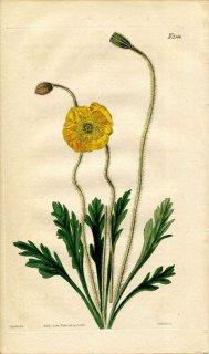 1822年 Curtis Botanical Magazine No.2344 ケシ科 ケシ属 シベリアヒナゲシ PAPAVER NUDICAULE