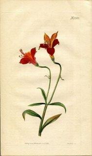 1822年 Curtis Botanical Magazine No.2353 ユリズイセン科 アルストロメリア属 ALSTROEMERIA PULCHELLA