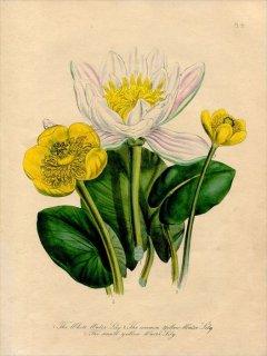 1846年 Loudon British Wild Flowers Pl.5 スイレン科 セイヨウスイレン White Water Lily