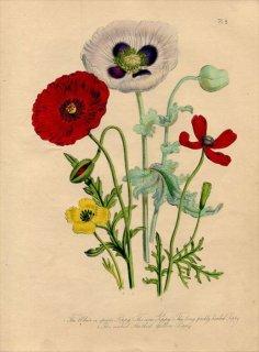 1846年 Loudon British Wild Flowers Pl.6 ケシ科 ヒナゲシ Corn Poppy