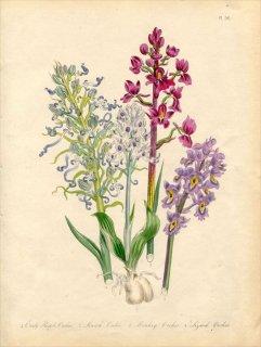 1846年 Loudon British Wild Flowers Pl.56 ラン科 Lizard Orchis トカゲラン