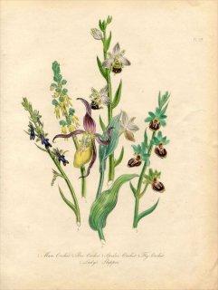 1846年 Loudon British Wild Flowers Pl.57 ラン科 Lady's Slipper アツモリソウ