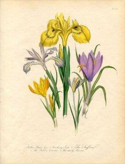 1846年 Loudon British Wild Flowers Pl.54 アヤメ科 キショウブ Yellow Water Iris
