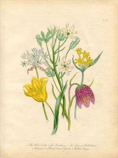 1846年 Loudon British Wild Flowers Pl.59 ユリ科 チューリップ Wild Tulip