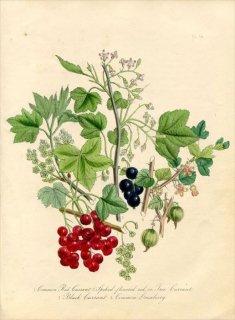 1846年 Loudon British Wild Flowers Pl.36 スグリ科 セイヨウスグリ Gooseberry