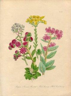1846年 Loudon British Wild Flowers Pl.22 ベンケイソウ科 ムラサキベンケイソウ Orpine 多肉植物