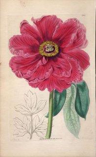 1854年 Sweet Ornamental Flower Garden Pl.145 ボタン科 ボタン属 オランダシャクヤク MOUTAN OFFICINALIS