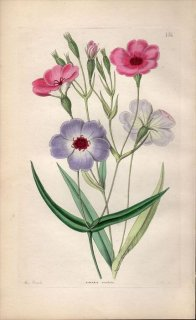 1854年 Sweet Ornamental Flower Garden Pl.151 ナデシコ科 VISCARIA OCULATA