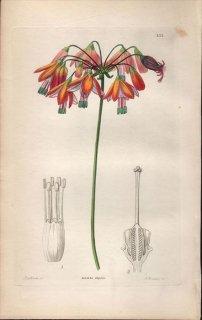 1854年 Sweet Ornamental Flower Garden Pl.155 キジカクシ科 ベッセラ属 BESSERA ELEGANS