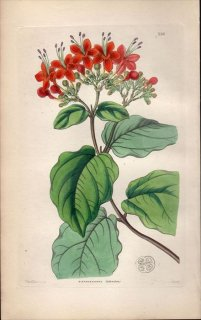 1854年 Sweet Ornamental Flower Garden Pl.156 シソ科 クサギ属 CLERODENDRON SPLENDENS