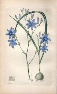 1854年 Sweet Ornamental Flower Garden Pl.158 テコフィラエア科 コナンテラ属 CUMMINGIA CAMPANULATA