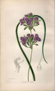 1854年 Sweet Ornamental Flower Garden Pl.161 キジカクシ科 THYSANOTUS PROLIFERUS