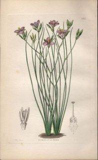 1854年 Sweet Ornamental Flower Garden Pl.162 キジカクシ科 ティサノツス属 THYSANOTUS TENUIS