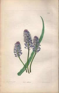 1854年 Sweet Ornamental Flower Garden Pl.164 キジカクシ科 スキラ属 SCILLA PRATENSIS