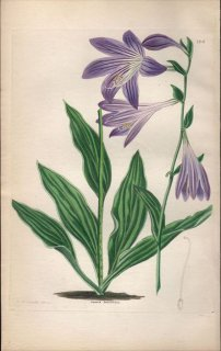 1854年 Sweet Ornamental Flower Garden Pl.166 キジカクシ科 ギボウシ属 コバギボウシ FUNKIA LANCIFOLIA