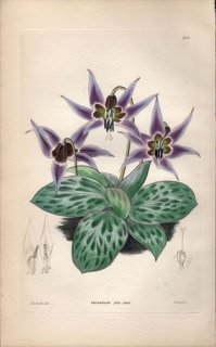 1854年 Sweet Ornamental Flower Garden Pl.169 ユリ科 カタクリ属 ERYTHRONIUM DENS CANIS