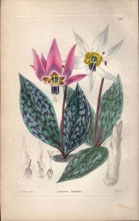 1854年 Sweet Ornamental Flower Garden Pl.170 ユリ科 カタクリ属 ERYTHRONIUM LONGIFOLIUM