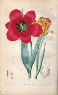 1854年 Sweet Ornamental Flower Garden Pl.177 ユリ科 チューリップ属 TULIPA OCULUS-SOLIS