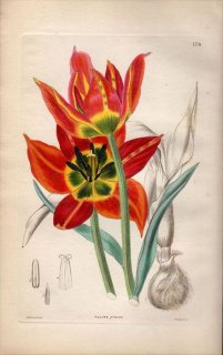1854年 Sweet Ornamental Flower Garden Pl.178 ユリ科 チューリップ属 TULIPA PRAECOX