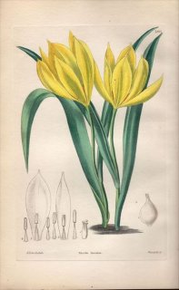 1854年 Sweet Ornamental Flower Garden Pl.180 ユリ科 チューリップ属 TULIPA TURCICA