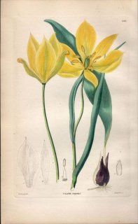 1854年 Sweet Ornamental Flower Garden Pl.181 ユリ科 チューリップ属 TULIPA REPENS