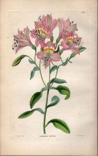 1854年 Sweet Ornamental Flower Garden Pl.186 ユリズイセン科 アルストロメリア属 ALSTROEMERIA CHORILLENSIS