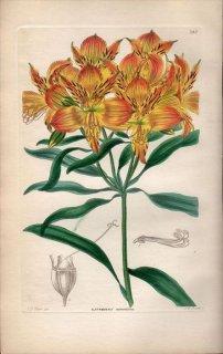 1854年 Sweet Ornamental Flower Garden Pl.187 ユリズイセン科 アルストロメリア属 ALSTROEMERIA AURANTIACA
