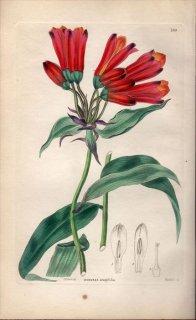 1854年 Sweet Ornamental Flower Garden Pl.189 ユリズイセン科 ボマレア属 BOMAREA ACUTIFOLIA
