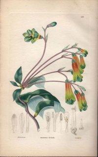 1854年 Sweet Ornamental Flower Garden Pl.190 ユリズイセン科 ボマレア属 BOMAREA HIRTELLA