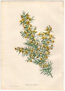 1838年 PAXTON'S MAGAZINE OF BOTANY マメ科 ダウィエシア属 DAVIESIA ULICINA