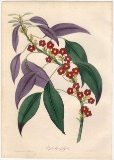 1838年 PAXTON'S MAGAZINE OF BOTANY トウダイグサ科 トウダイグサ属 ユーフォルビア EUPHORBIA FULGENS