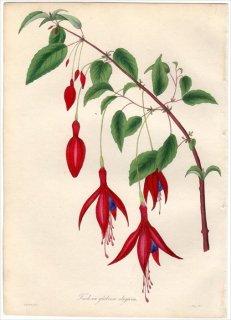 1838年 PAXTON'S MAGAZINE OF BOTANY アカバナ科 フクシア属 FUCHSIA GLOBOSA