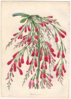 1838年 PAXTON'S MAGAZINE OF BOTANY オオバコ科 ルッセリア属 ハナチョウジ RUSSELIA JUNCEA