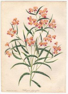 1838年 PAXTON'S MAGAZINE OF BOTANY マメ科 ヒイラギハギ属 DILLWYNIA GLYCINIFOLIA