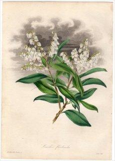 1838年 PAXTON'S MAGAZINE OF BOTANY ツツジ科 アセビ属 アメリカアセビ LEUCOTHOE FLORIBUNDA