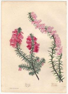 1838年 PAXTON'S MAGAZINE OF BOTANY ツツジ科 エパクリス属 EPACRIS VARIABILIS