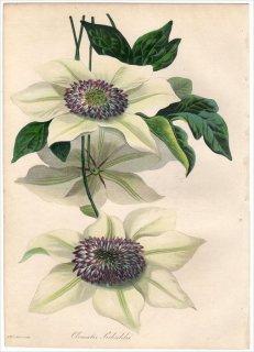 1838年 PAXTON'S MAGAZINE OF BOTANY キンポウゲ科 センニンソウ属 テッセン CLEMATIS SIEBOLDII