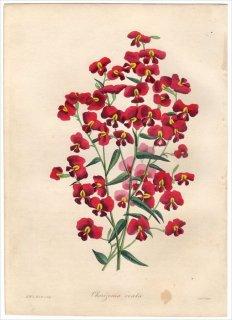 1838年 PAXTON'S MAGAZINE OF BOTANY マメ科 コリゼマ属 CHORIZEMA OVATA