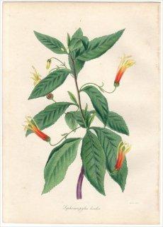 1838年 PAXTON'S MAGAZINE OF BOTANY キキョウ科 ミゾカクシ属 SIPHOCAMPYLUS BICOLOR