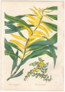1838年 PAXTON'S MAGAZINE OF BOTANY マメ科 アカシア属 ACACIA LONGIFOLIA