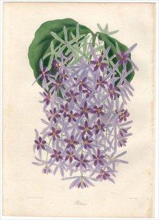 1838年 PAXTON'S MAGAZINE OF BOTANY クマツヅラ科 ヤモメカズラ属 PETREA STAPELSIAE