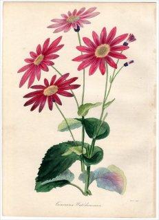 1838年 PAXTON'S MAGAZINE OF BOTANY キク科 ペリカリス属 CINERARIA WATERHOUSIANA