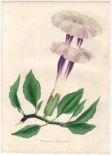 1838年 PAXTON'S MAGAZINE OF BOTANY ナス科 チョウセンアサガオ属 チョウセンアサガオ BRUGMANSIA WAYMANNII
