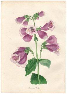 1838年 PAXTON'S MAGAZINE OF BOTANY オオバコ科 イワブクロ属 PENTSTEMON COBAEA