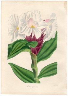 1838年 PAXTON'S MAGAZINE OF BOTANY オオホザキアヤメ科 ヘレニア属 COSTUS SPECIOSUS